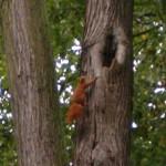 Wiewiórka w Obrze