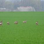 Przed Rogaczewem Wielkim spotykamy stada saren na polach