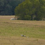 Spotykamy żurawie w okolicy Góry Dąbrowskiego. W tle samochód na krajowej 11