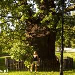 Kadyny. Dąb, jedno z najstarszych drzew w Polsce. Średnica 10 m