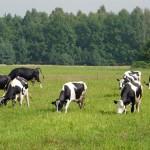 Krowy na wypasie