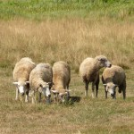 Słomianaka. Owce