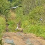 Ptaki na podmokłych łąkach.