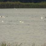 Ptaki na stawach rybnych
