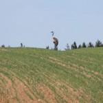 Żuraw na obiedzie – terytorium żerowania jest bardzo rozległe i na obszarach rolniczych może dochodzić do 120 ha.