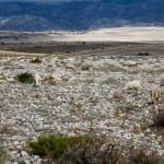 Na kamienistych polach występuje drobna roślinność. Wypasa się tam owce. Kto zgadnie ile owiec jest na zdjęciu?