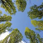Drzewa w parku krajobrazowym we Wrzosach. Aby zobaczyć rozetkę trzeba zadrzeć wysoko wzrok w miejscu skrzyżowania alejek.