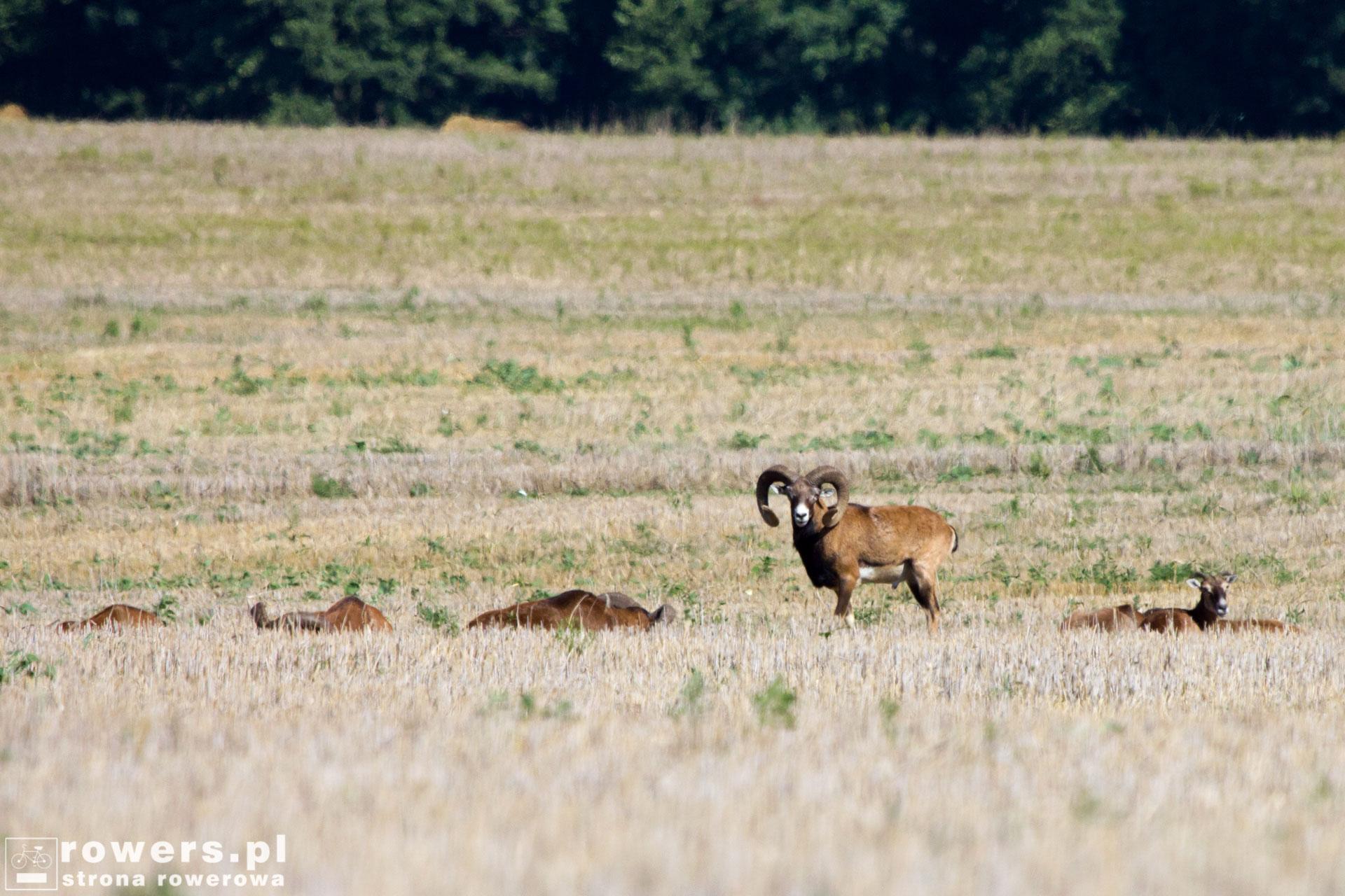 Muflony w Parku Wielkopolskim