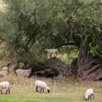 Czasem rosną gruszki na wierzbie a tu mamy owce na wierzbie :)
