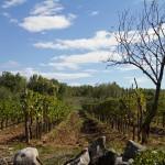 Za kamiennym murkiem szpalery winorośli