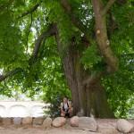 Lubiń – kasztanowiec, szacowany wiek ok 250 lat, obwód pnia 523 cm !!! (2008r)