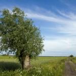 Wierzba iwa, charakterystyczny element wielkopolskich krajobrazów