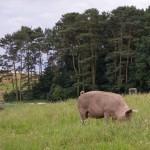 Wolny wypas świń