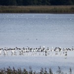 Stawy Milickie – prawdziwy ptasi raj i wymarzone miejsce do birdwatchingu