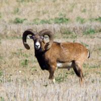 Muflony w Wielkopolsce