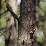 Ciszę w lesie przerywają pracujące ptaki – kowaliki i dzięcioły