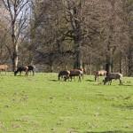 Popas leśnej zwierzyny w parku pałacowym w Potbus
