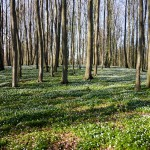 Zawilce – otwierają sezon kwiatowy w lesie
