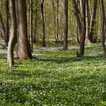 W lesie dywan zawilców