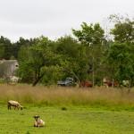 Większość mieszkańców Saaremy zajmuje się rolnictwem