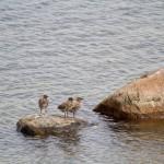 Saaremaa to raj dla ptaków