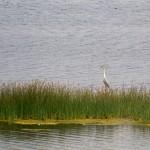 Czapla siwa na płytkich wodach zatoki