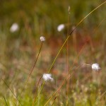 Wełnianki w okresie kwitnienia