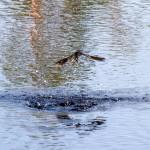 Jaskółka dymówka jest ptakiem narodowym Estonii