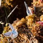 Modraszek ikar w otoczeniu rosiczek