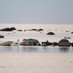 Płytkie wody zatoki Käsmu to raj dla ptaków