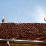 Na dachu dwa kury