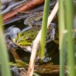 Kumkająca żaba