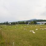 Pastwisko przy końcu pasa startowego