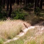 W dolinie Lubniewki napotykamy lisa, który znaczy teren