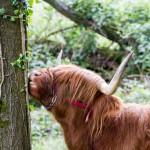 Krowy rasy Scottish Highland, można je spotkać także w Polsce nad Zalewem Szczecińskim