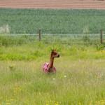 Lama w kolorowej derce