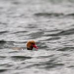 Bodman-Ludwigshafen. Płytkie wody zatoki to ostoja wielu ptaków
