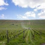 Oprysk winorośli – już wiemy kto nas obudził