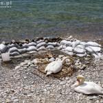 Para łabędzi wysiadujących jaja na gnieździe