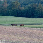 Konie z kadyńskiej stadniny