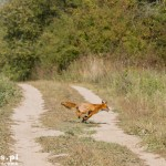 Lis – biegnie do Fromborka ;)