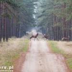 Trzask prask i wyskoczyło stado jeleni