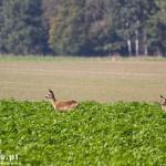 Sarny na polach w okolicach Starczanowa