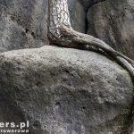 Korzeń sosny wrośnięty w kamień