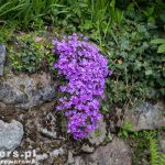 Oporowy murek ze skalnymi roślinkami – tu piękne floksy