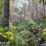 Olbrzymie okazy w sosnowym lesie