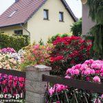 Piękne różaneczniki nie tylko w parku ale i w przydomowych ogródkach