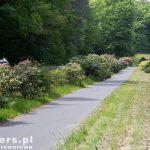 Różaneczniki wzdłuż drogi rowerowej do Kromlau