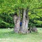Drzewo w drzewie – Dąb Hermanna spalony w 1993 roku, obecnie w jego pozostałościach wyrosło nowe drzewko