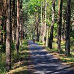 Przez sosnowy las